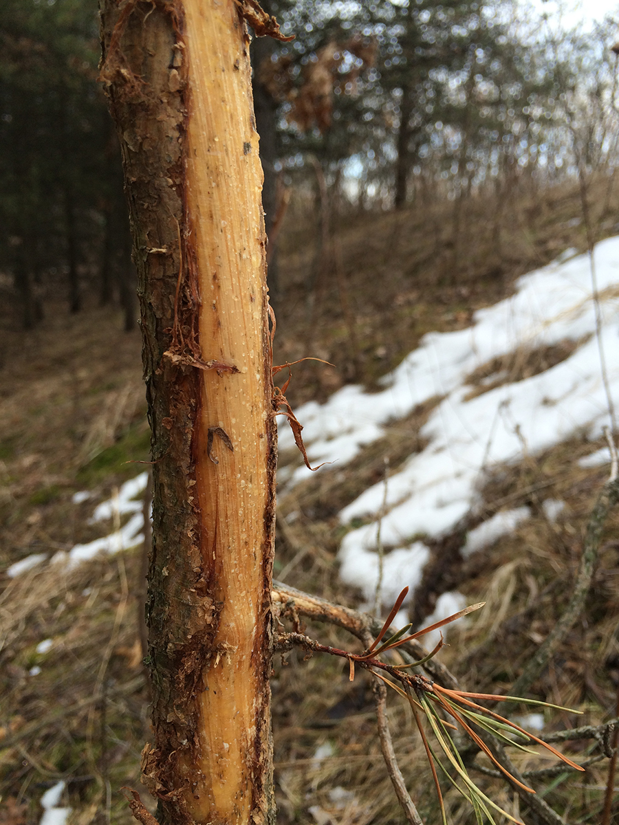 avoid scent control complacency while scouting for deer | Ozonics Hunting