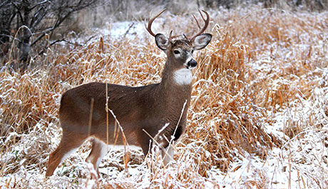 whitetail deer field